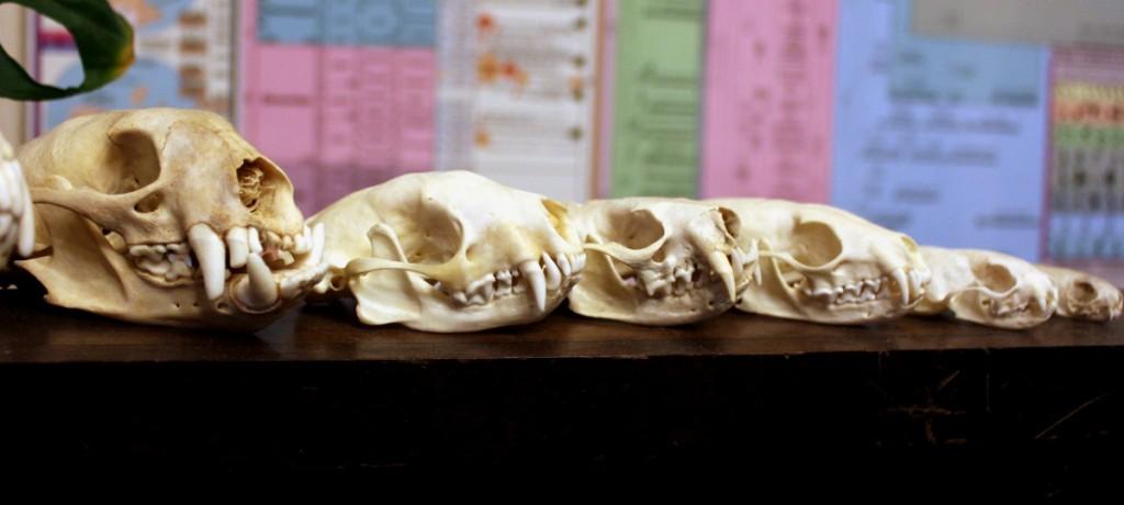mustelid_skull_lineup_by_lupagreenwolf-d9e53ek